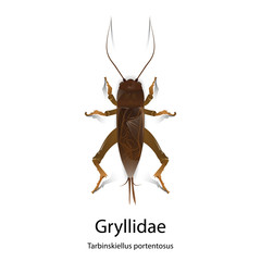 Gryllidae vector on white background.