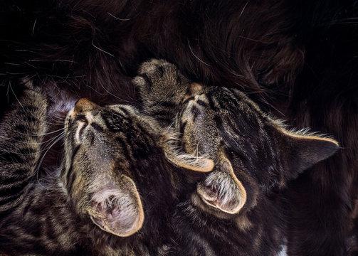 Two little tabby kittens sucking milk