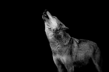 In de dag Wolf heulender Wolf