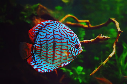 Discus fish in aquarium, tropical fish. Symphysodon discus from Amazon river. Blue diamond, snakeskin, red turquoise