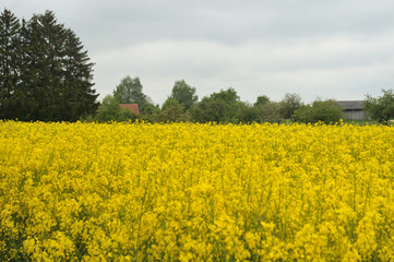 view over rapeseed field to farmhouse with orchard and wooden barn