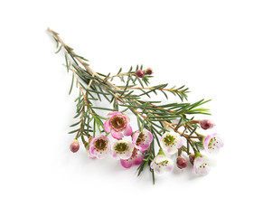 Branch of tea tree with flowers on white background. Natural essential oil