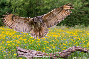 Foto op Aluminium Uil Eagle owl (Bubo bubo)