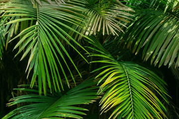 Nature image of green leaves of Palm tree.