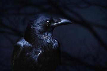 raven on black background