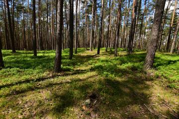 Zielony wiosenny las