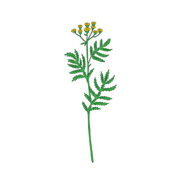Tansy flower or Tanacetum vulgare vector illustration isolated on white backdrop, colorful ink sketch, decorative herbal doodle, for design medicine, wedding invitation, greeting card, cosmetic
