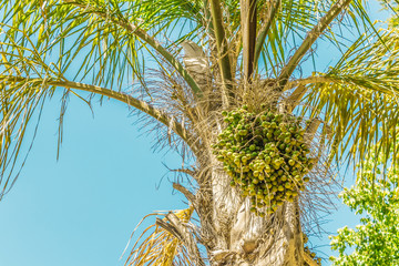 Palms, palm plants, tree, crown of a palm tree in dry Cape Town in South Africa with blue sky.