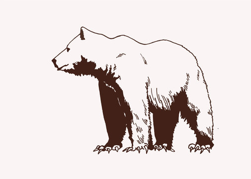 Graphical vector illustration of Polar bear  , vintage background