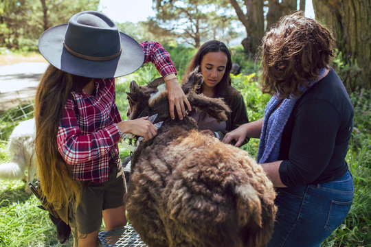 Female farmers use clippers to shear sheep wool in spring