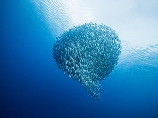 Bait ball in coral reef of Caribbean Sea around Curacao at dive site Playa Piskado Wall mural