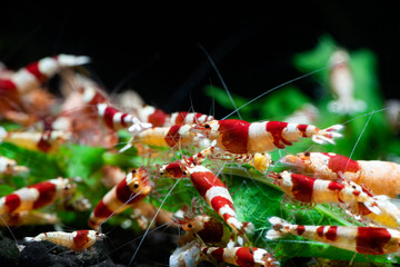 Caridina cantonesis crystal red shrimp eating pets hobby