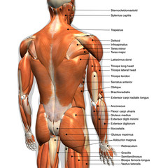 Labeled Anatomy Chart of Male Back Muscles on White Background.