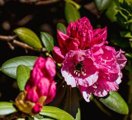 Obraz Kwiat kwiaty czerwone czerwony bąk insekt owad - fototapety do salonu