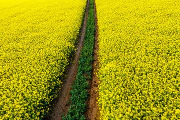 Obraz polna droga w polu kwitnącego rzepaku - fototapety do salonu