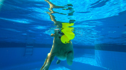 Golden Retriever Puppy Swimming in the Pool (under water)