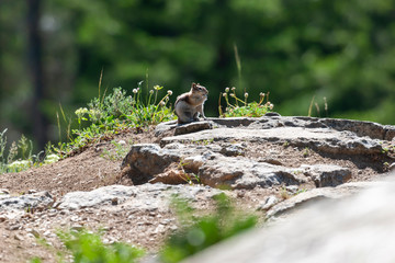 Chipmunk sitting on a rock in the sunshine.