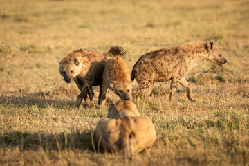 Poster Hyène Hyena fighting