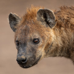 Foto auf Acrylglas Hyane Hyena in the savannah