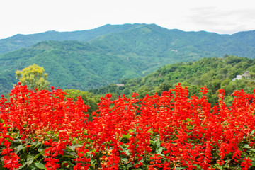 Poster de jardin Rouge Red flowers Salvia on the background of the green mountains of northern Thailand, nature landscape