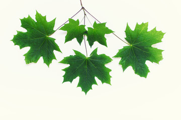 Branch with five green maple leaves on white background.