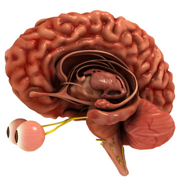 Realistic, fully detailed Human Brain 3D model with alpha Channel. The model created in consultation with some neurology professors carefully.