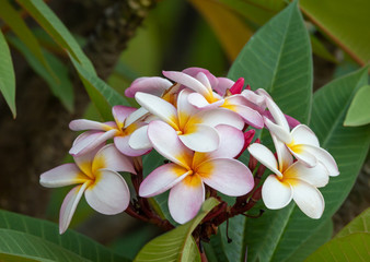 Pink and white plumeria flower with shallow focus in nature garden. Ethiopia