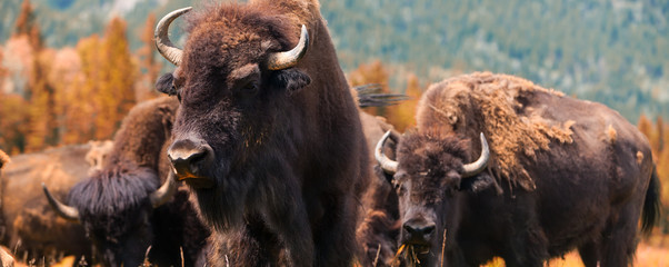 Wall Murals Bison American Bison or Buffalo Panorama Web Banner