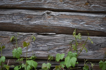 Old wooden wall with visible plants, bark bettle holes