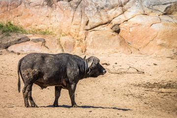 Photo sur Aluminium Buffalo African buffalo in Kruger National park, South Africa