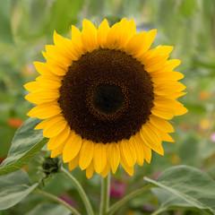 Sonnenblume, groß, Feld