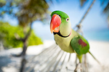 Close up of a rose-ringed parakeet parrot at a tropical beach