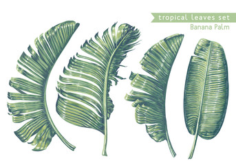 Tropical leaves collection. Banana palm leaves in realistic style with high details. Exotic elements for cosmetics, health care products, wedding or summer background, patterns, wallpapers, prints.