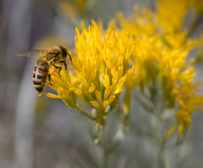 Bee Gathering Pollen on Chamisa Flowers