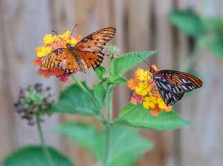 Butterflies on Yellow and Orange FLowers