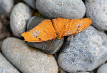 Orange Open-Winged Butterfly on Round Stones