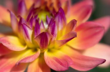 Close-up, Soft Focus of Dahlia Flower