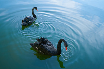 Foto op Canvas Zwaan Two black swans float in the lake. Lovely couple of black swans