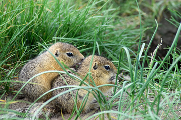 two cute baby gopher hugging each other