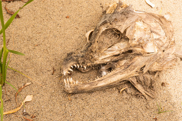 Decaying fish head in the sand
