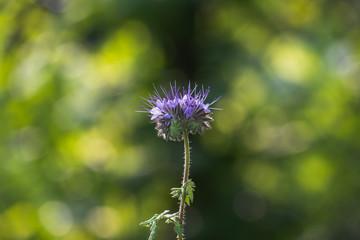 Eine einzelne Ysop-Blüte. Der violette Kelch der Blume ist in der Mitte des Bildes. Der Hintergrund ist schön verschwommen. Bienenkraut.
