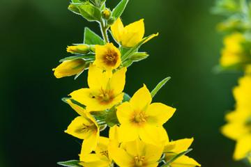 Lysimachia Punctata. Eine gelbe schöne Blume mit offenen Blüten. Die gepunktete Gilbweiderich Pflanze hat eine kräftige natürliche Farbe.