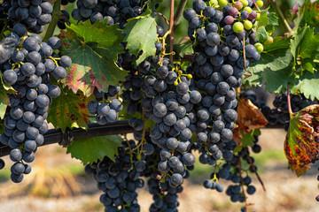 Blaue Weintrauben am Rebstock