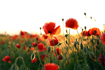 Foto auf Leinwand Blumen Field of beautiful blooming poppy flowers at sunset