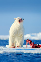 Deurstickers Ijsbeer Two polar bears with killed seal. White bear feeding on drift ice with snow, Manitoba, Canada. Bloody nature with big animals. Dangerous baer with carcass. Arctic wildlife, animal food behaviour.