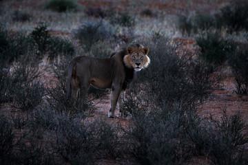Kgalagadi lion in dark morning, Botswana. Lion with black mane, big animal in the habitat. Face portrait of African dangerous cat. Wildlife scene from nature, Kgalagadi, Africa.