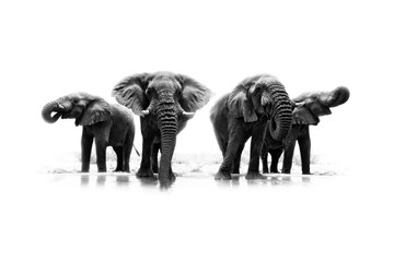 Black and white art photo of African elephant, heard near the water, big tusker from front view drinking water with lift up trunk. Wildlife artistic scene from nature, Etosha NP, Namibia, Africa.