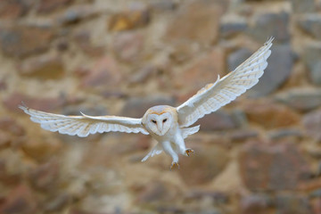 Barn owl, Tyto alba, with nice wings flying above stone wall, light bird landing in the old castle, animal in the urban habitat, France. White owl fly in the habitat. Wildlife scene from nature.