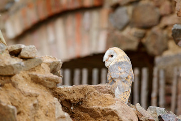 Barn owl, Tyto alba, with nice wings, landing on stone wall, light bird flying in the old castle, animal in the urban habitat. Wildlife scene from nature.
