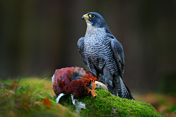 Peregrine falcon with caught Pheasant, feeding on killed big bird on the green mossy rock with dark forest in background. Action wildlife feeding scene from nature. Falcon with kill in green stone.